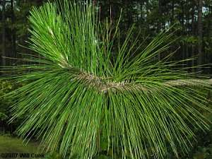 Longleaf Pine (Pinus palustris) leaves