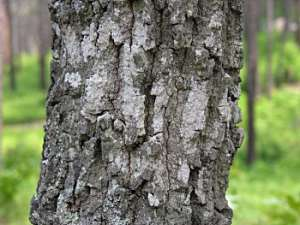 Turkey Oak (Quercus laevis) bark