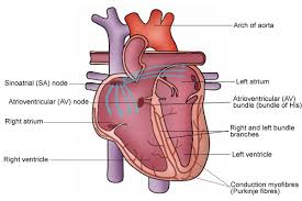 Image result for the conduction system of the heart