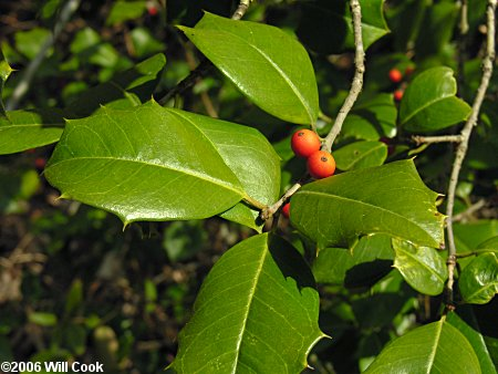 American Holly (Ilex opaca) leaves fruit