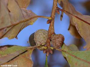 Sand Post Oak (Quercus margaretta) acorn