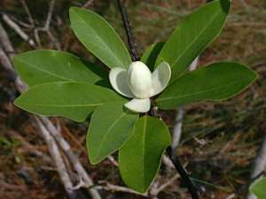 Sweetbay (Magnolia virginiana) flower