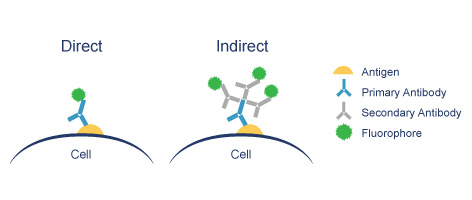 direct-vs-indirect-immunofluorescence