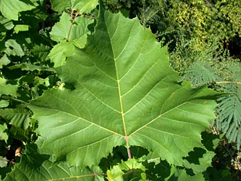 American Sycamore (Platanus occidentalis) leaves