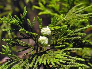 Atlantic Whitecedar (Chamaecyparis thyoides) cones
