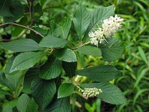 Coastal Sweet Pepperbush (Clethra alnifolia)