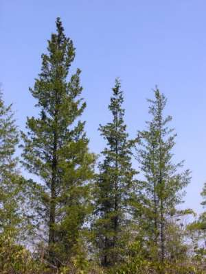 Atlantic Whitecedar (Chamaecyparis thyoides) tree