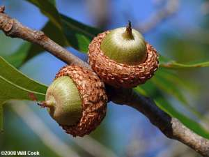Turkey Oak (Quercus laevis) acorn