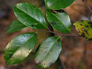 Large Gallberry (Ilex coriacea) leaves