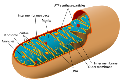 Animal mitochondrion diagram en.svg