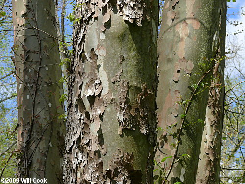 American Sycamore (Platanus occidentalis) bark