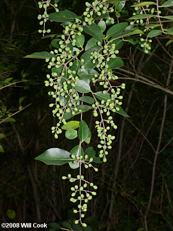 Chinese Privet (Ligustrum sinense)