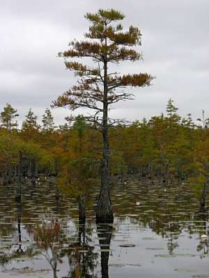 Pondcypress (Taxodium ascendens)