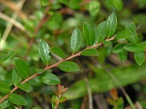 Creeping Blueberry (Vaccinium crassifolium)