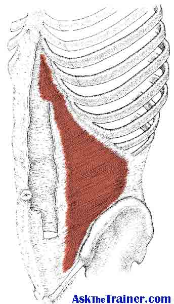 Transverse Abdominis Muscle
