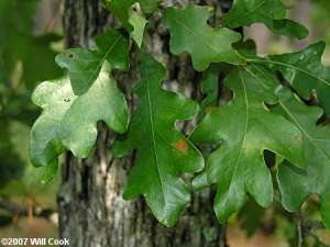 Sand Post Oak (Quercus margaretta)