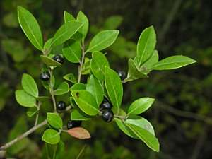 Large Gallberry (Ilex coriacea)